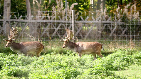 Two adult dears with antlers Footage