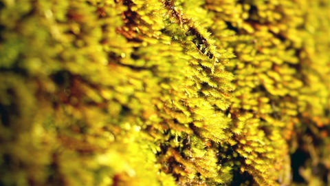 Closer look of the lichens Footage