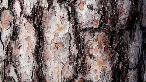 Closer look of the trunk of the pine tree Footage