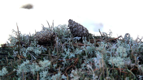 Some pine cones found on the ground Footage
