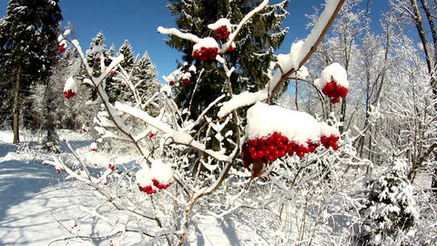 Viburnum opulus Guelder Rose covered with snow Footage
