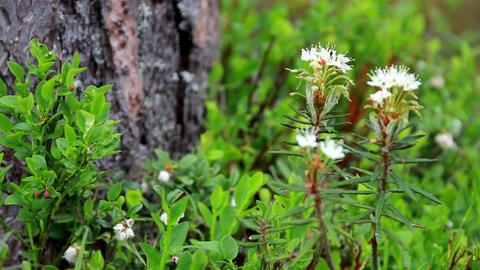 Marsh Labrador Tea Rhododendron tomentosum Footage