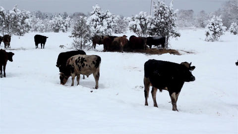 Lots of cows standing on the snow Footage