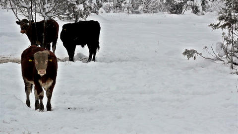 Three cows standing on a snow-covered area Footage