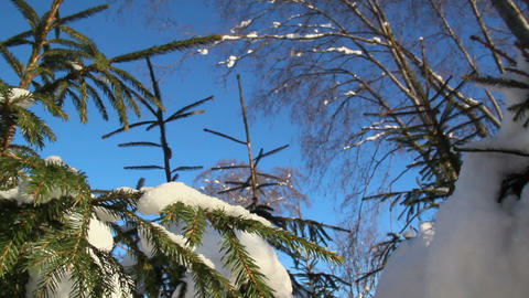 Pine trees covered with thin snow Footage