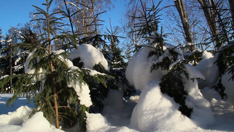 Set of small pine trees covered with snow Footage