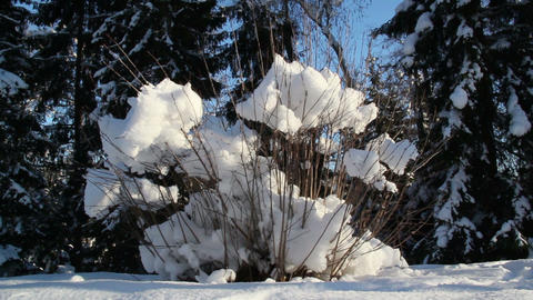 A plant with dry stems covered with snow Footage