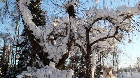 A plant with lots of dry stems covered with snow Footage