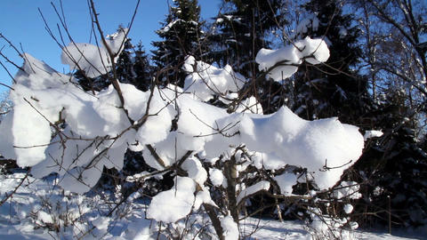 Twigs of a plant are covered with snow Footage