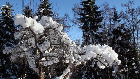 A plant with no leaves is covered with snow Footage