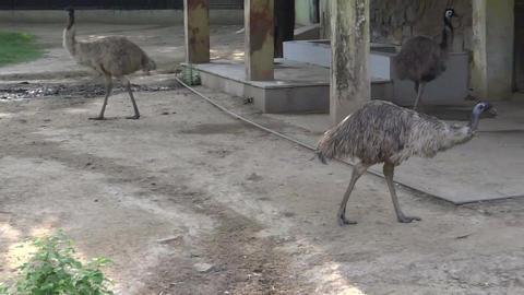 ostrich bird Footage
