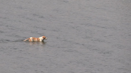A Dog Crossing The River In Search Of Food/prey stock footage