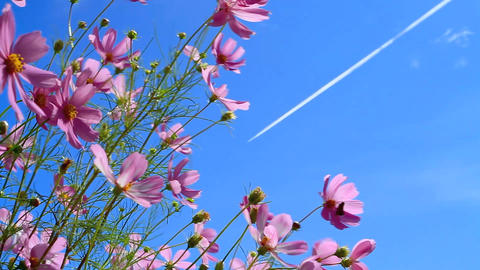 Field Of Cosmos Flowers With Airplane Vapour Trail stock footage