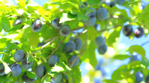 Ripe plums on the branch shake on the wind with bl Footage