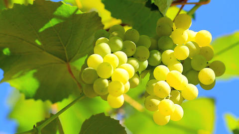 Bunch of grapes with a blue sky in the background Footage