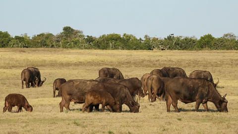 African buffalo herd Live Action