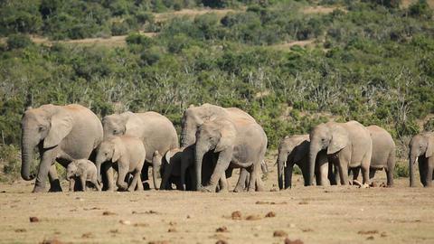 African elephant herd Footage