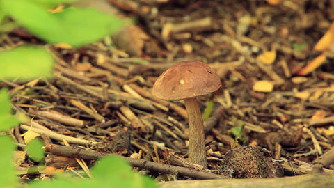 Brown boletus edulis Footage