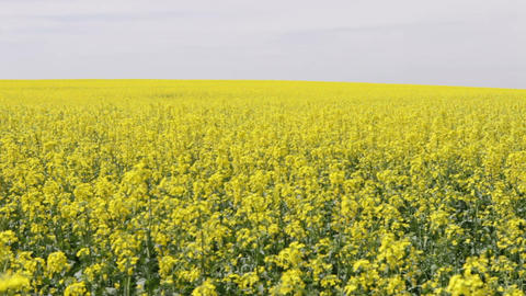 field of oilseed rape Footage