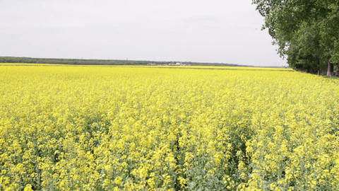 field of oilseed rape Footage
