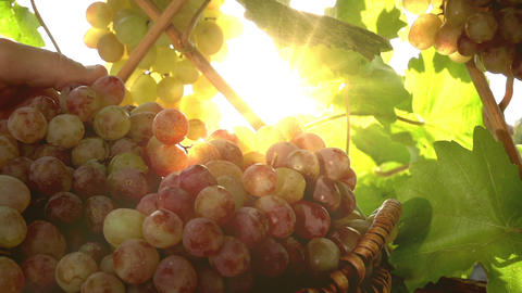 Grape Harvest Season stock footage