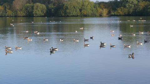 4k Uhd Flock of Greylag geese gliding on lake Footage