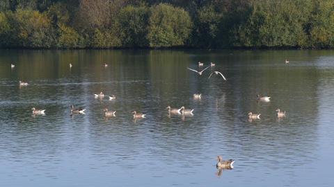 4k Uhd low flying greylag geese over lake Footage