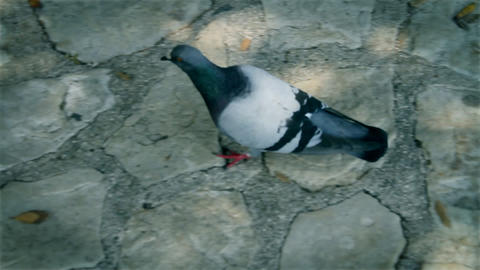 Pigeon in action Footage
