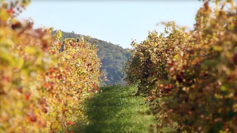 Wineyard In Autumn stock footage