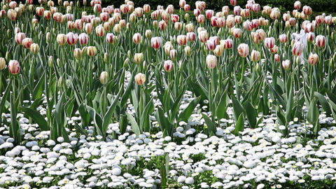 Blossom tulips and other flowers Footage