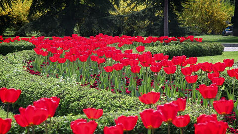 red blossom tulips in garden Live Action