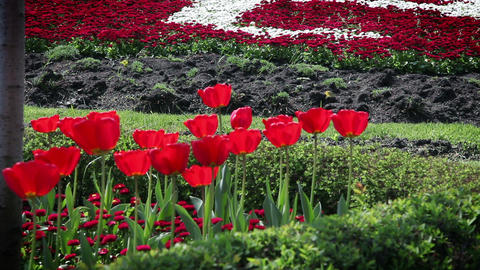 red blossom tulips and other flowers Footage