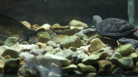 Wild Animal In Captivity, Turtle Swimming In Water stock footage