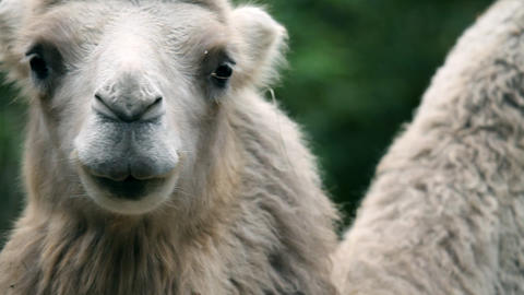 Front shot of animal camel in captivity in zoo sta Live Action