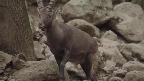 capricorn in zoo walking Footage