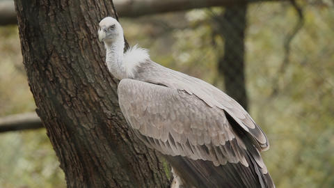 Vulture in zoo Footage
