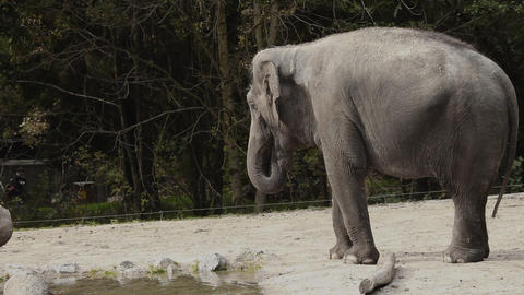 Wide angle shot of an animal elephant in captivity Footage