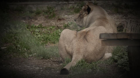 Lioness in zoo lying Footage