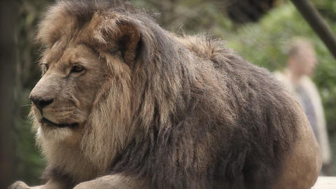 lion in zoo lying Footage