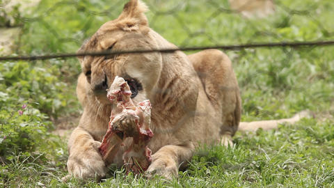 Lioness in Ljubljana zoo eating meat Footage