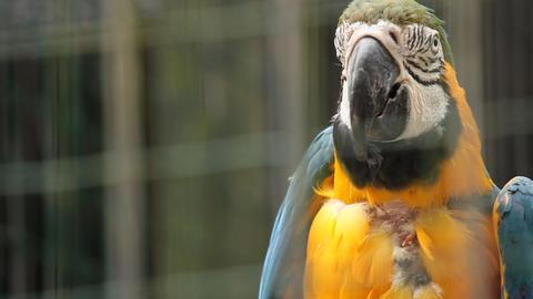 Parrot ara in Ljubljana zoo Footage