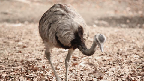 Bird emu walking Footage