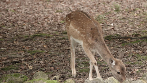 Wild animal deer in captivity in zoo eating food Footage