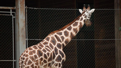 Wild anima giraffe in a captivity in zoo Footage