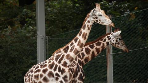 Giraffes in Ljubljana zoo walking Footage