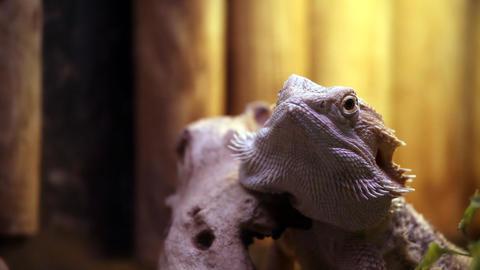 Iguana staring Footage