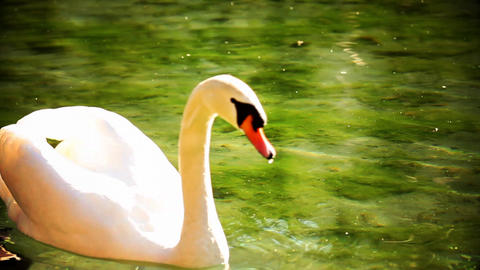 Swan swimming in water with color correction Footage