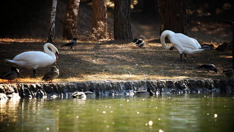 swans and ducks in nature Footage