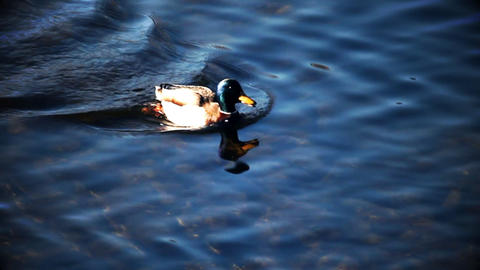 Duck swimming on lake, focus is on water and not o Live Action