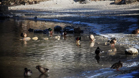 Several ducks cleaning themselves in lake and on s Footage